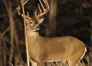 Whitetail Deer Hunting in Alabama